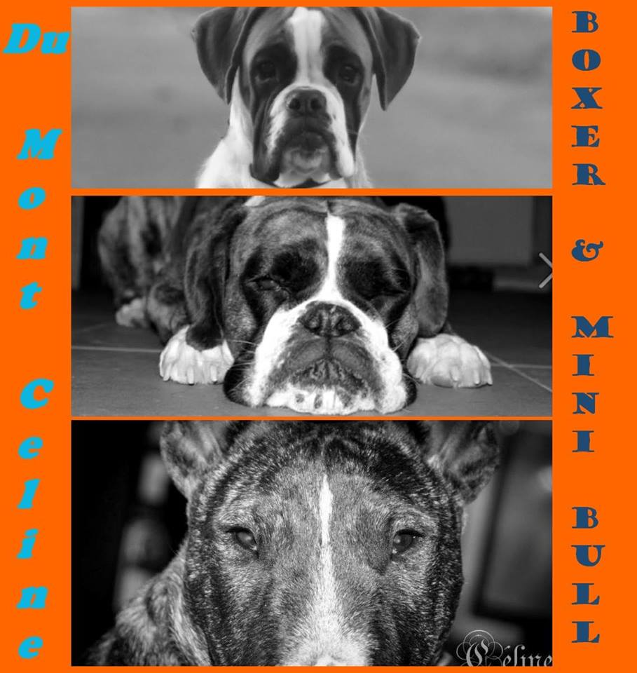 Elevage de Boxer et Mini-Bull, Mouscron (BE)